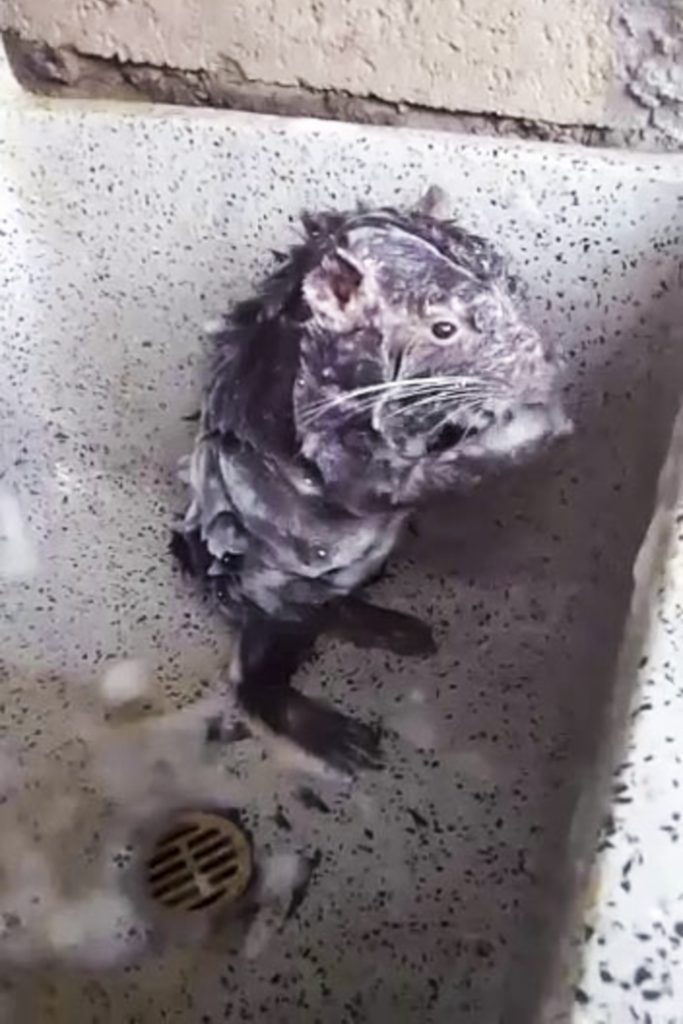 Squeaky Clean Bizarre Footage Shows Rat Bathing Itself