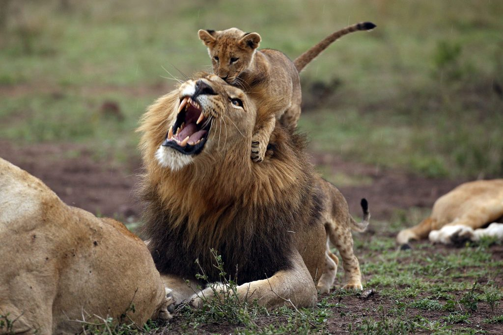 roar ly angry lion
