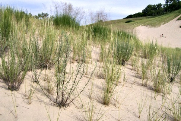Grass and dunes - Warren Dunes Michigan - StowandTellU