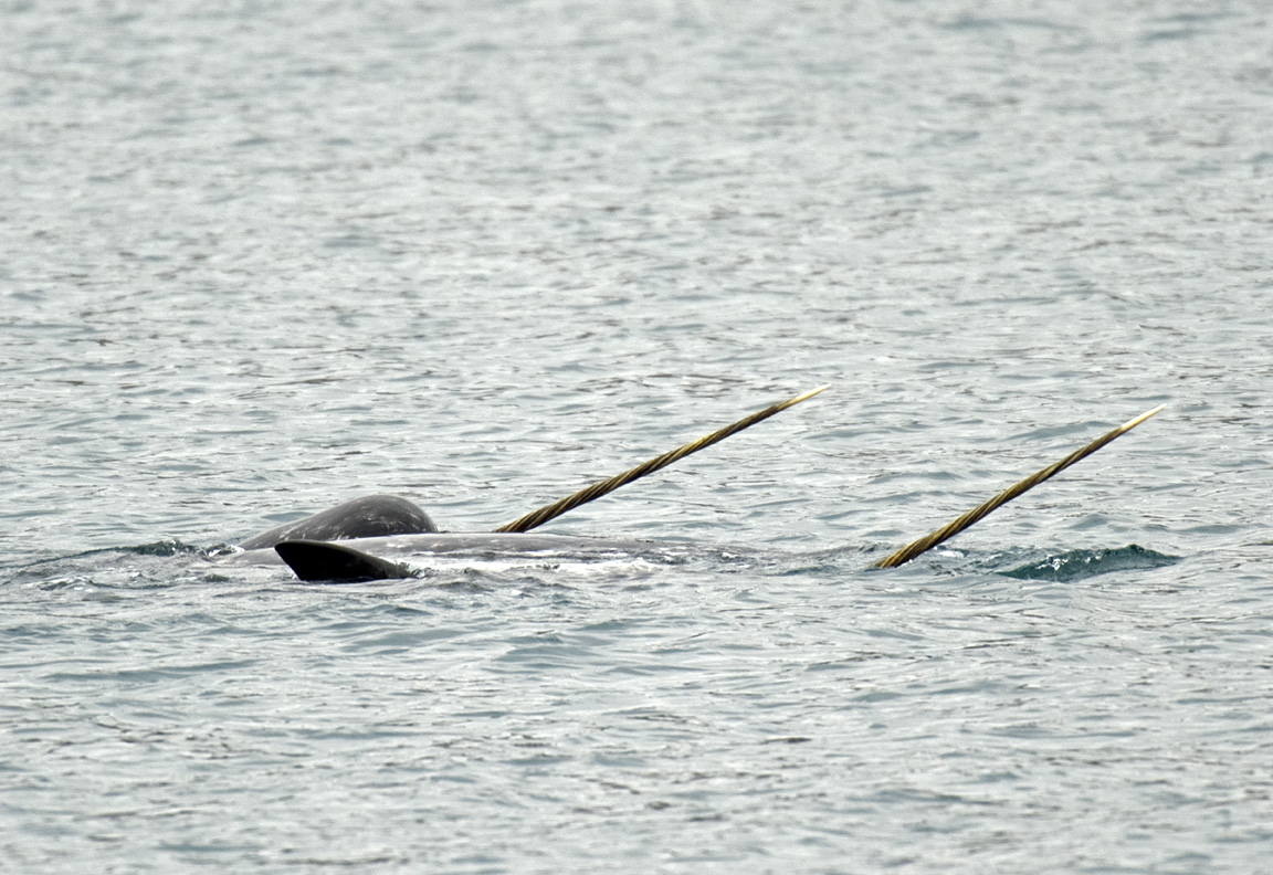 Understanding the narwhal: A species at the crossroads