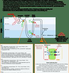 diagram of nephron [ 1185 x 1046 Pixel ]