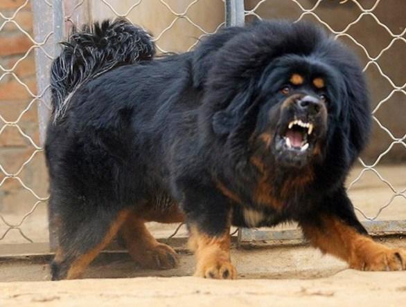 caucasian-shepherd-most-dangerous-dogs