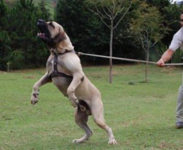 top-10-worlds-most-dangerous-dogs-fila-brasileiro