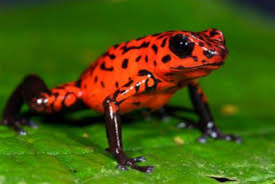 worlds-most-dangerous-animals-dart-frog