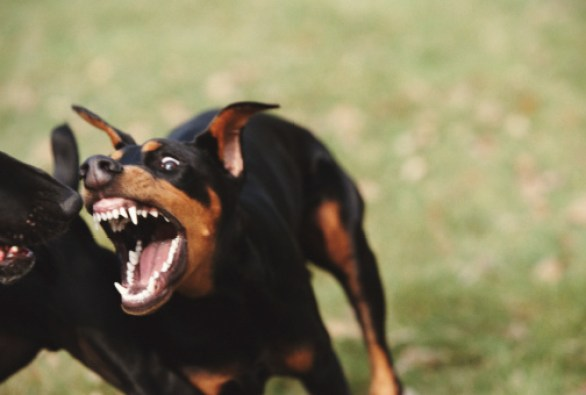 Doberman attacking black labrador, close-up