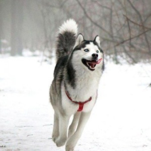 worlds-most-dangerous-dogs-huskies