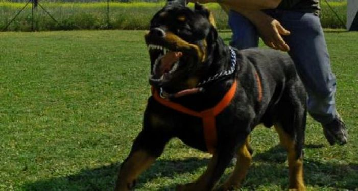 rottweiler dog protection training