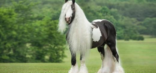 Gipsy-Vanner-el-caballo-más-dócil-para-los-niños
