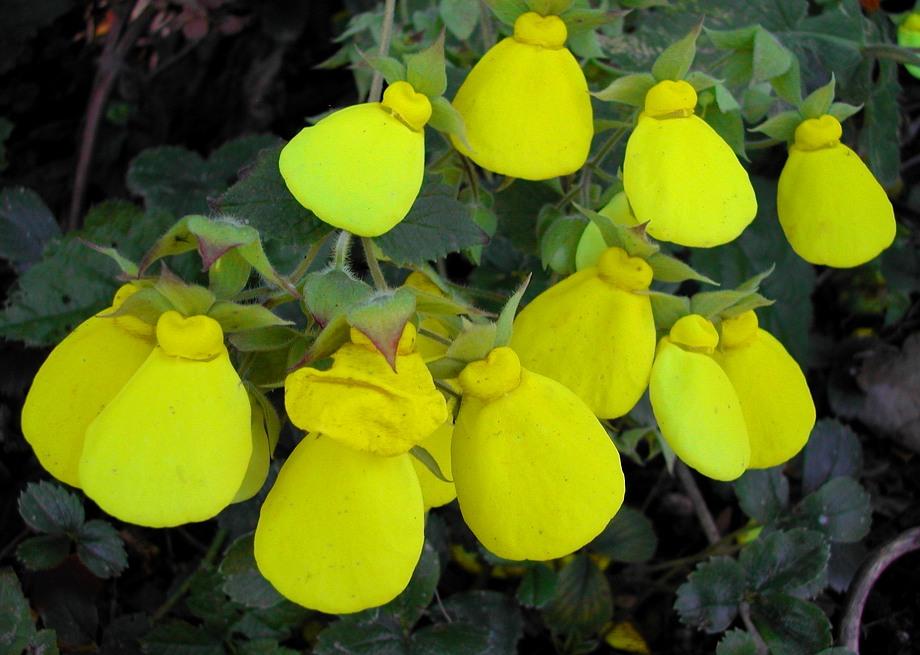Tomentosa Calceolaria - Flor Chinelo Amarelo