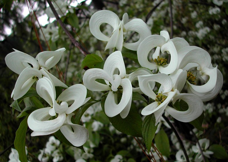 Cornus florida sub.  urbiniana