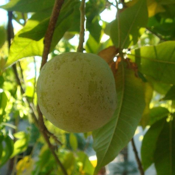 White Sapote fruit - Casimiroa edulis