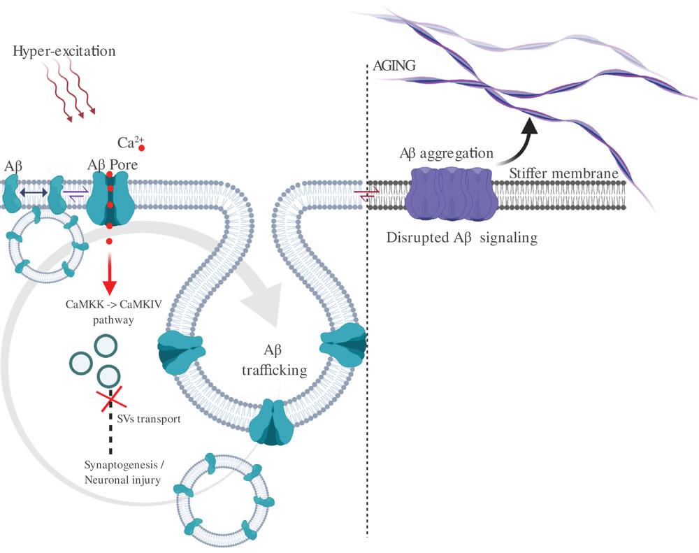 Amyloid-Beta pores