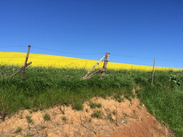A field of Canola seen from the roadside.