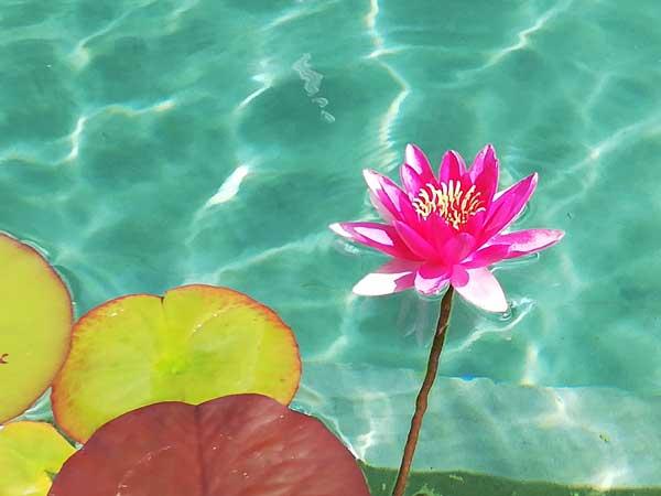 Seerose-pink-3