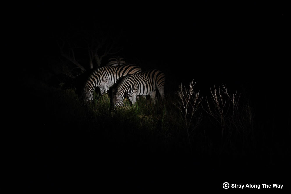 Finding Zebra on the western shores on our night drive