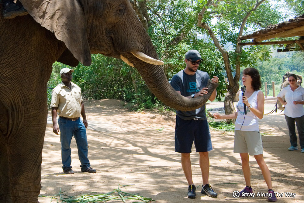 elephant feeding at elephant whispers hazyview