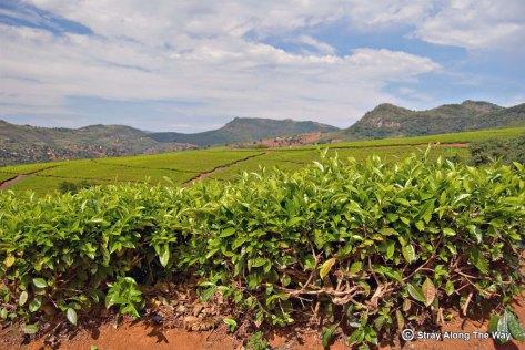 Tshivhase Tea Estate