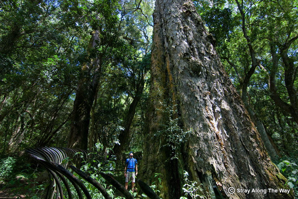 Bevan at the big tree in Hogsback