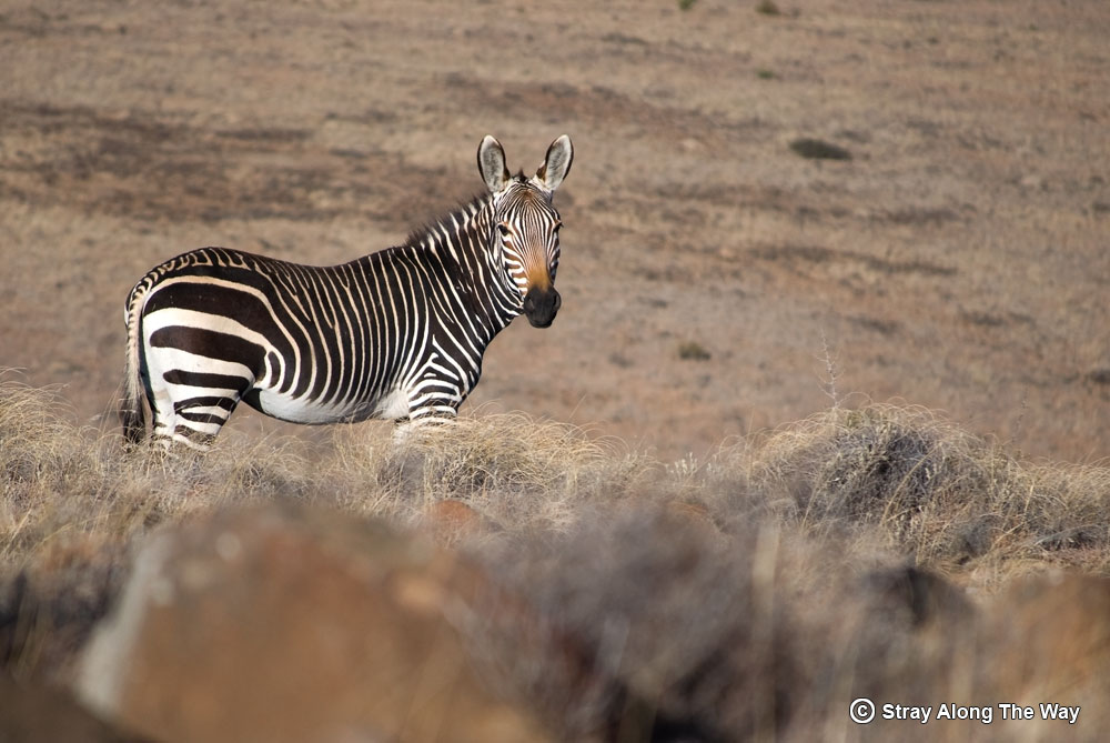 Cape Mountain Zebra Portrait