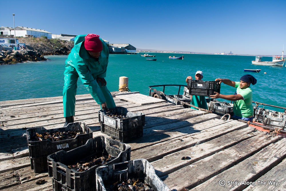 Saldanha Oyster Farmers offloading mussels