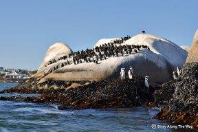 paternoster african penguin