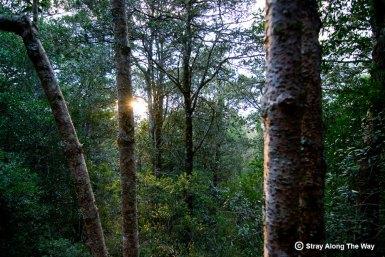 Sunlight knysna forest