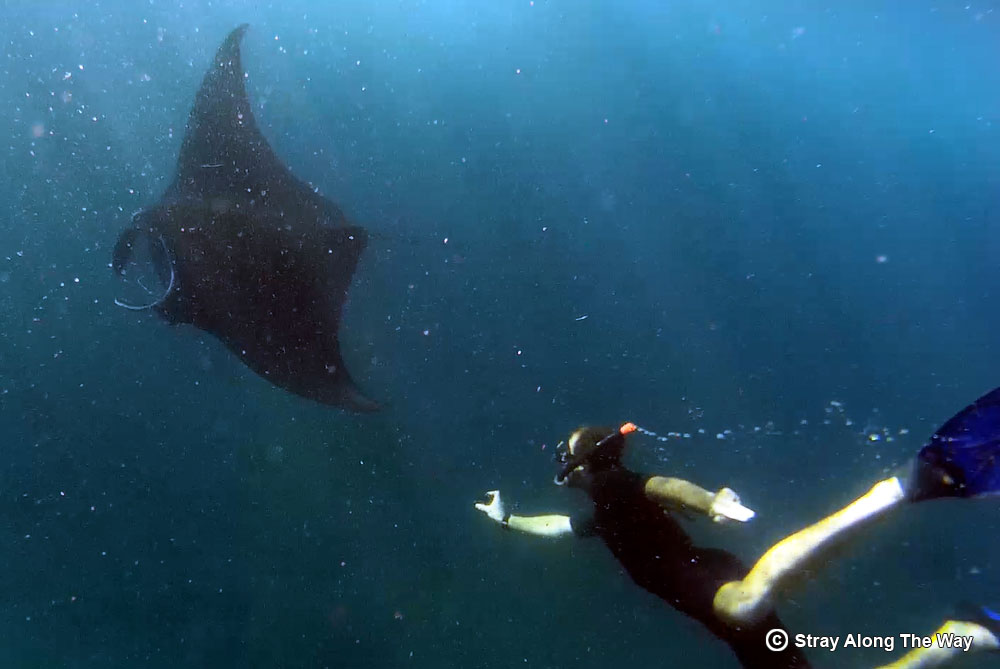 Swimming with manta rays: The best thing we did in Indonesia!