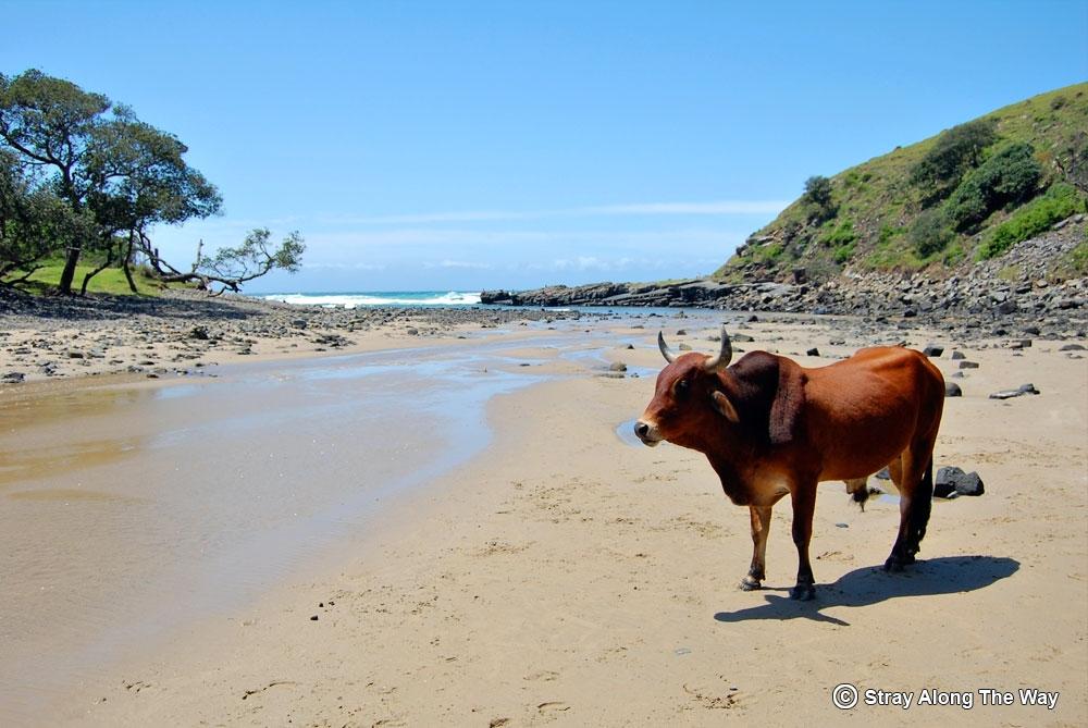Cow on the beach at Bomvu Bay