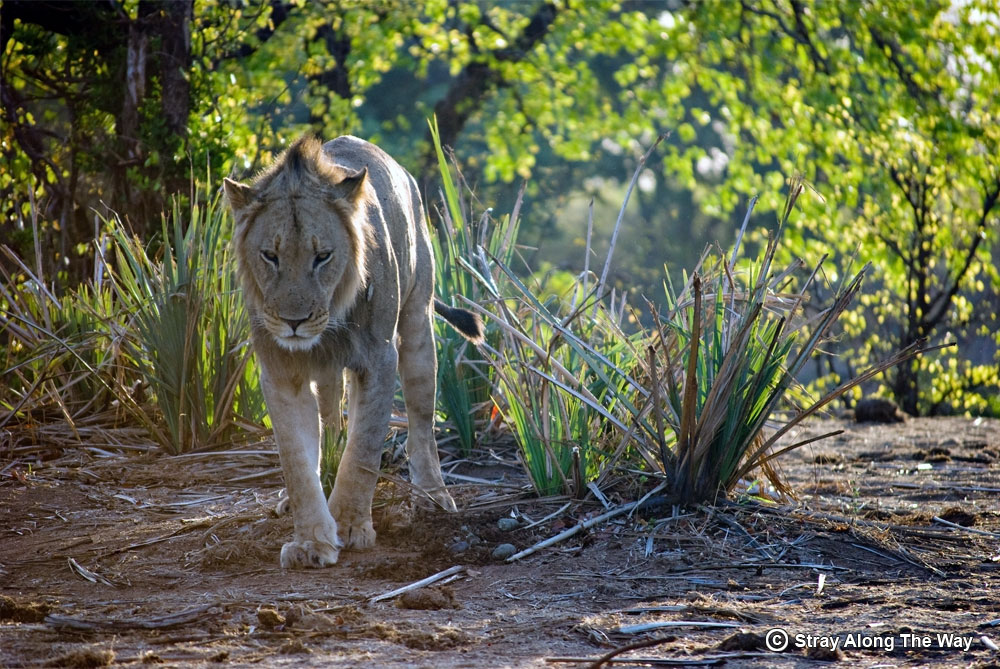 Kruger National Park Lion