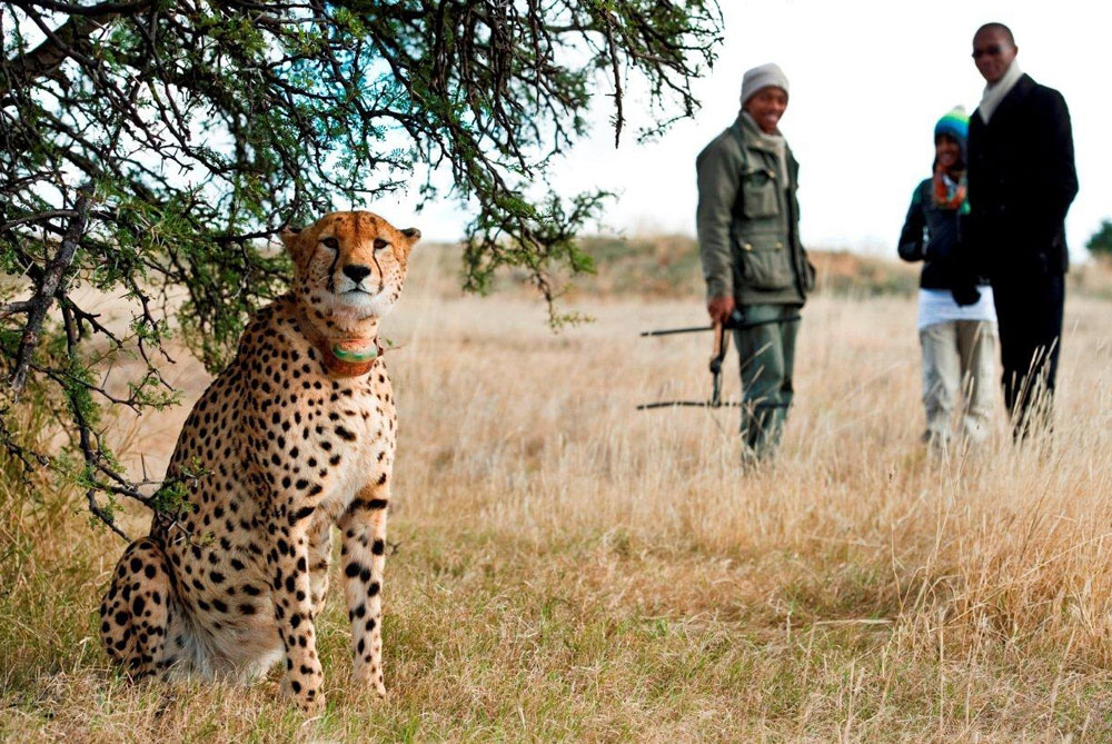 wildlife-experience-mountain-zebra-cheetah-tracking
