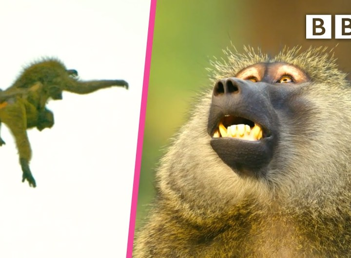 This baboon troop has a dramatic exit to safety 😲 Serengeti II - BBC