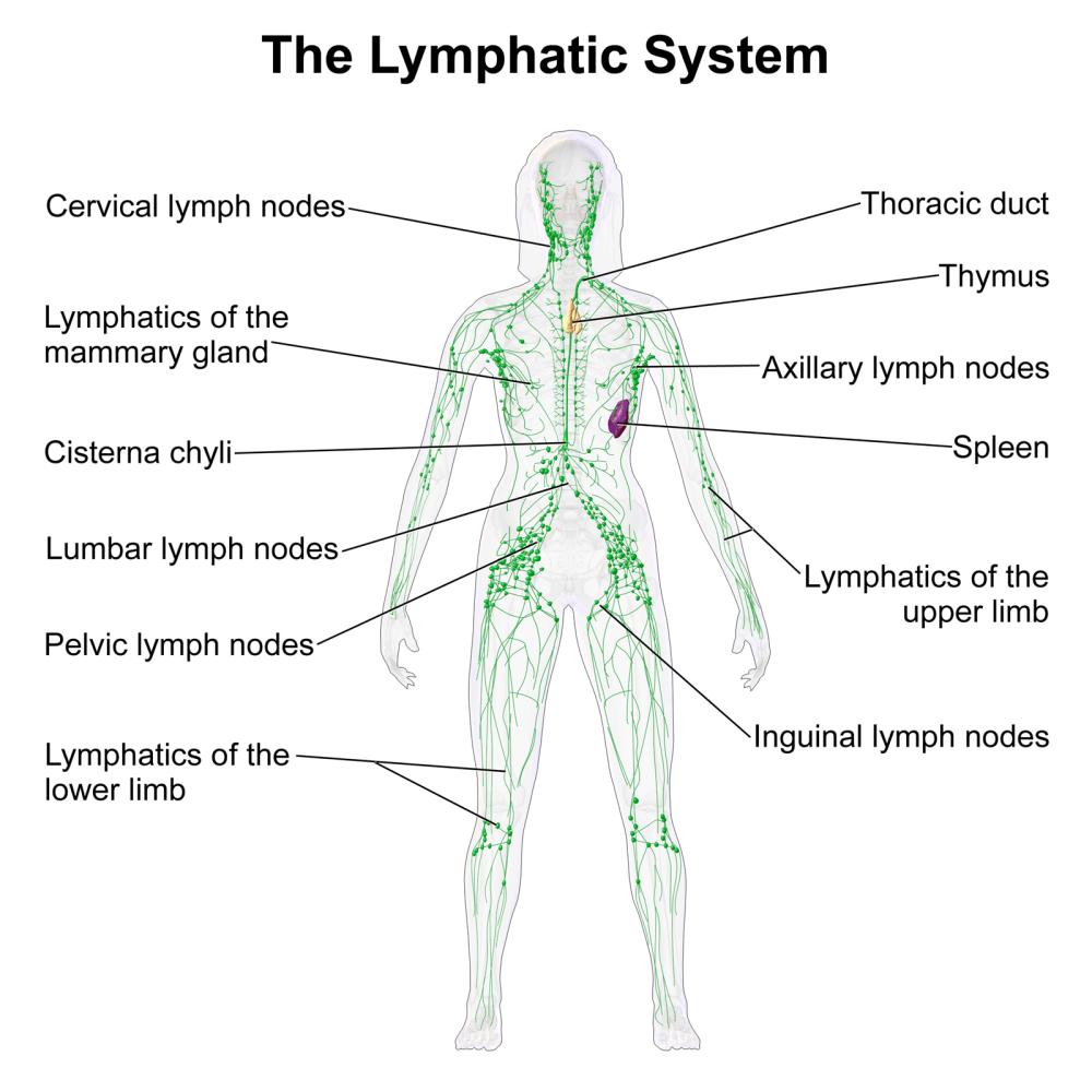 medium resolution of lymphatic system function