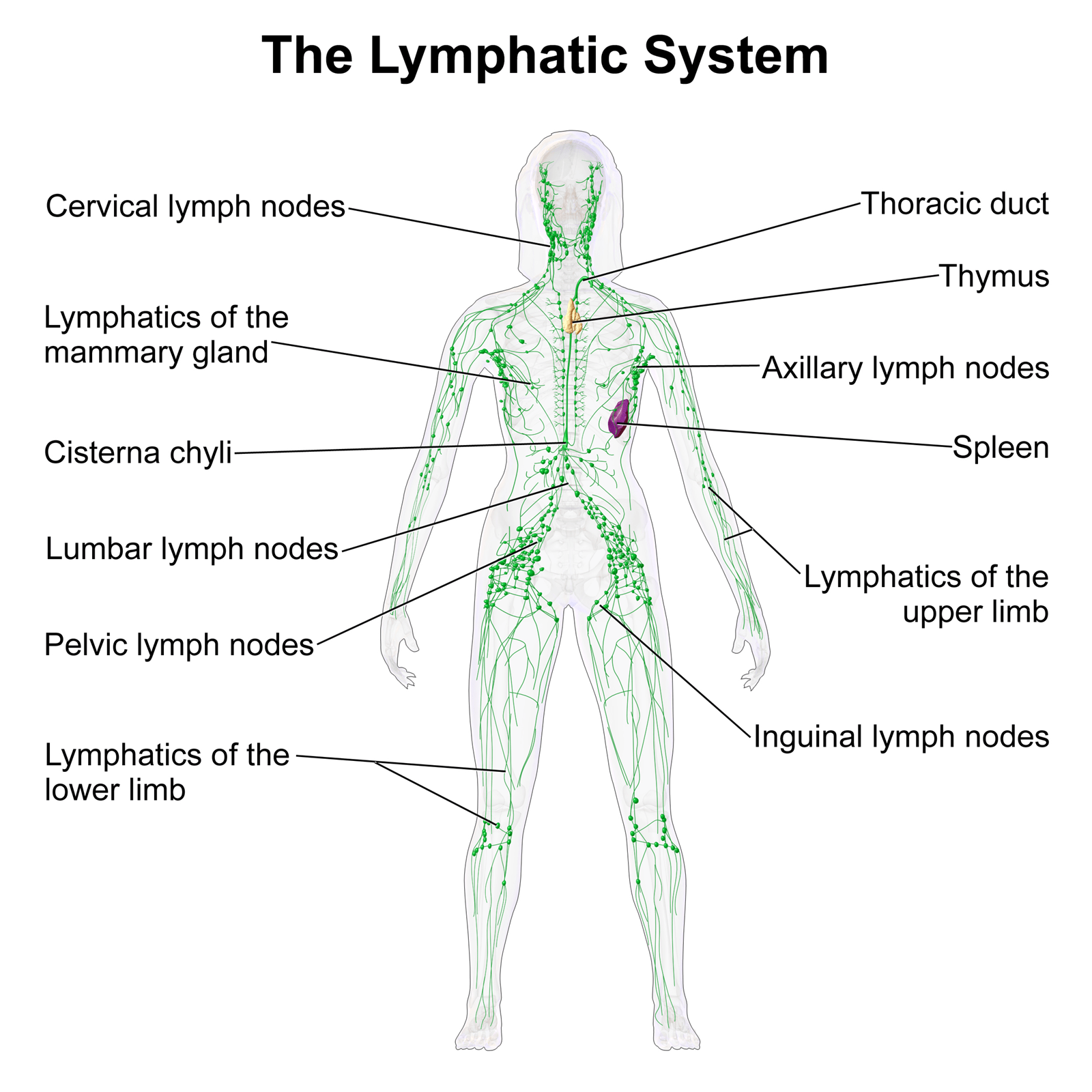 hight resolution of lymphatic system function