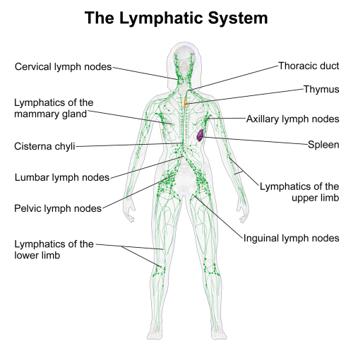small resolution of lymphatic system function