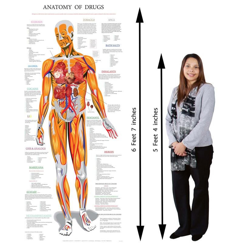 Retractable Anatomy Poster 33.5 x 79