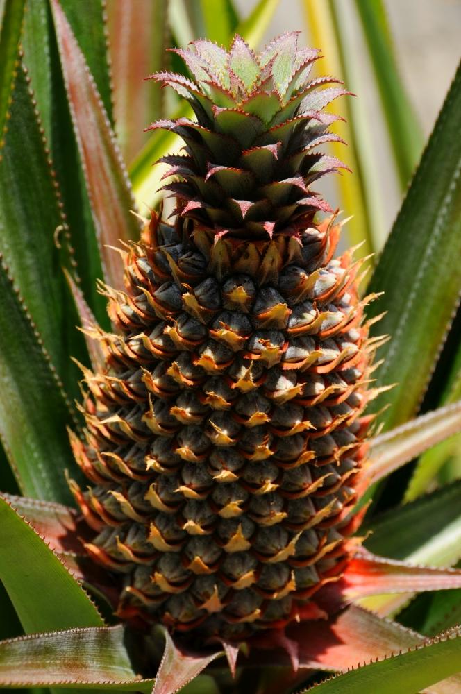 Videli ste rásť ananás?