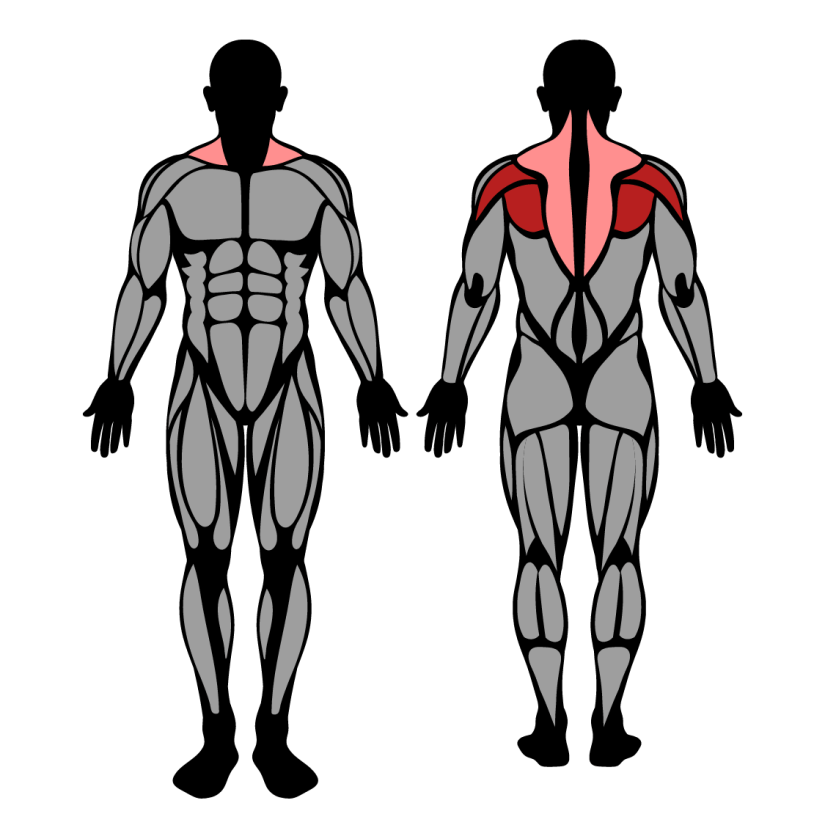 Muscles worked in Reverse Machine Fly