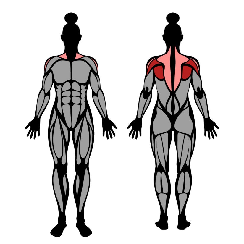 Muscles worked by face pull
