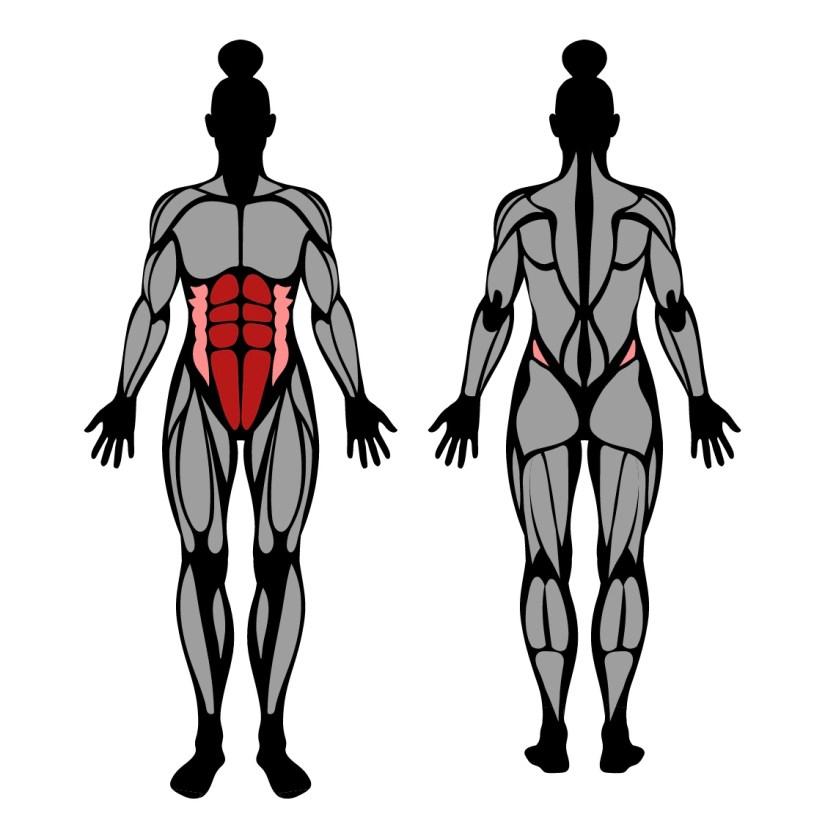 Muscles worked in kneeling ab wheel