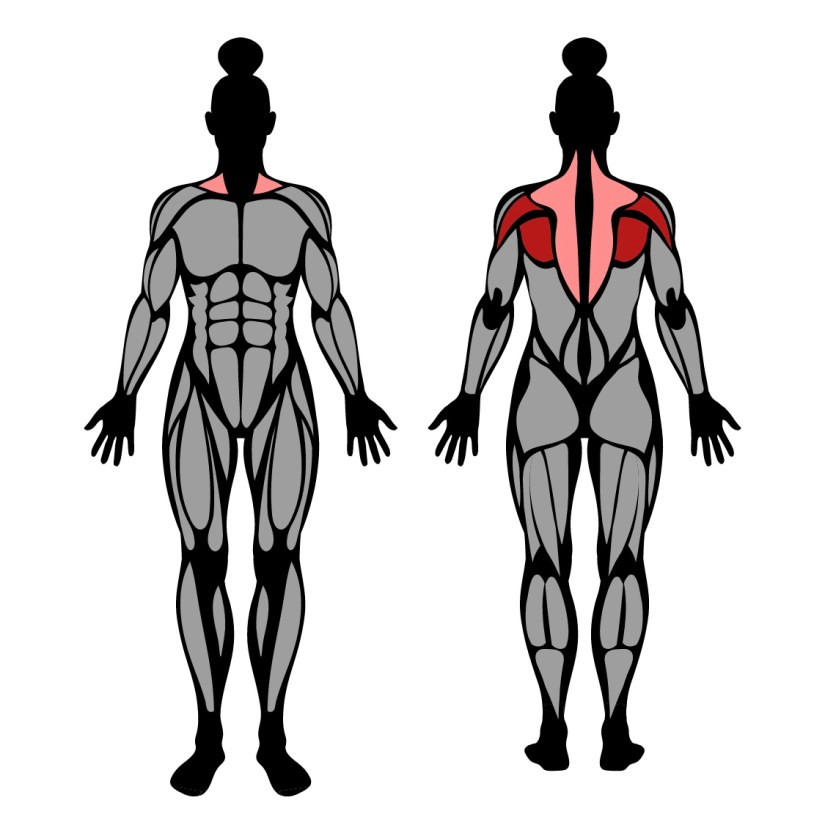 Muscles Worked in the Reverse Dumbbell Fly