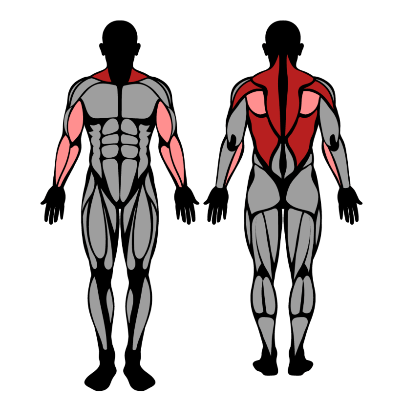 Muscles worked in seated cable row with close grip