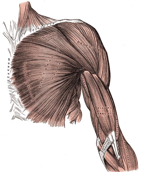 Chest muscles pectoralis major