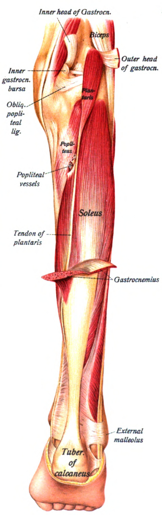 Soleus calf muscle anatomy