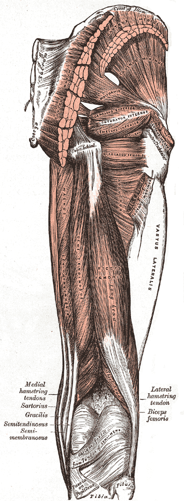 Back of leg muscles anatomy