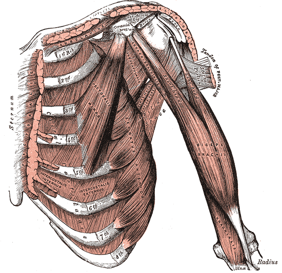 Biceps brachii muscle anatomy