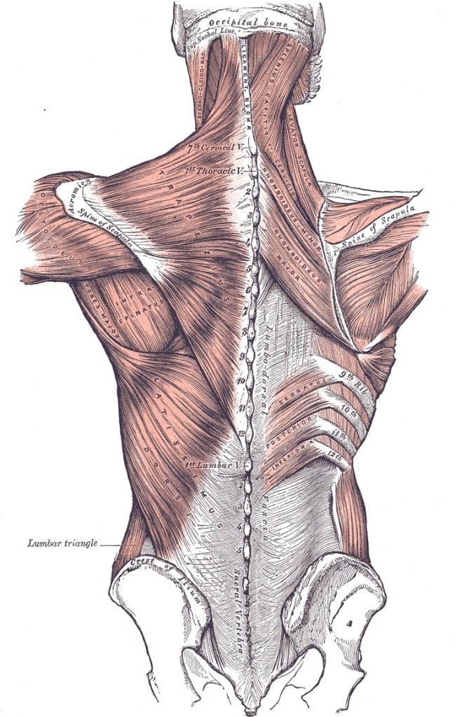 Lat muscle anatomy