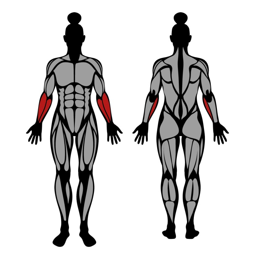 Muscles worked by barbell wrist curl behind the back