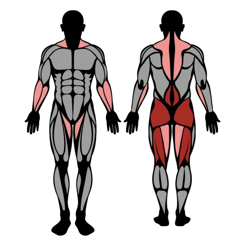 Muscles worked by stiff-legged deadlifts exercise