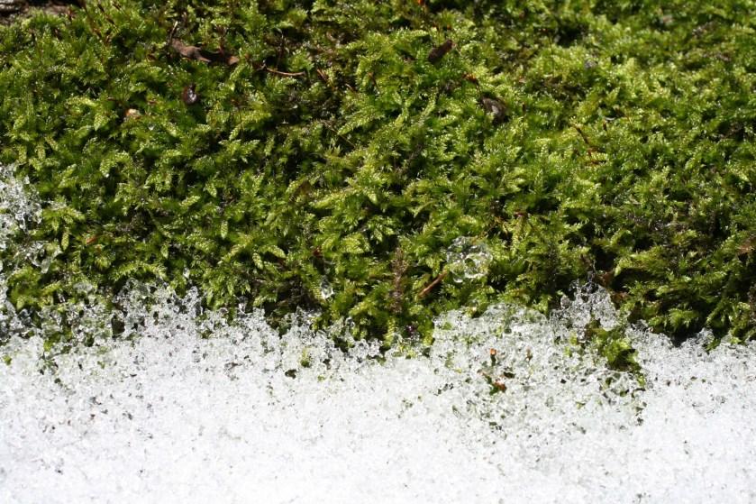 Moos mit kristallinen Strukturen des Schnees