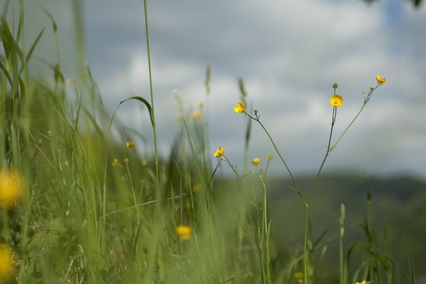 Sommerwiese mit gelben Blüten